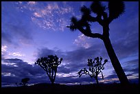 Joshua trees, sunset. Joshua Tree National Park, California, USA. (color)