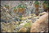 Lost Palm Oasis. Joshua Tree National Park, California, USA.