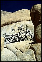 Bare bush and rocks in Hidden Valley. Joshua Tree National Park ( color)
