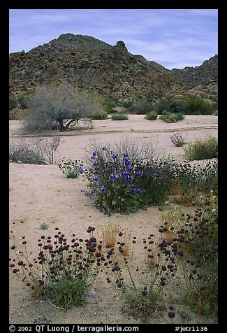 Desert wildflowers in bloom on sandy flat. Joshua Tree National Park (color)