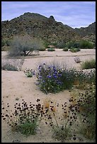 Desert wildflowers in bloom on sandy flat. Joshua Tree National Park, California, USA.