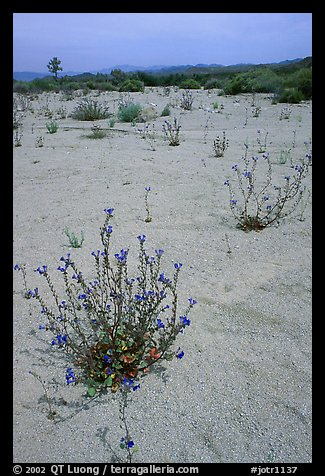 Wildflowers in bloom on sandy wash. Joshua Tree National Park, California, USA.