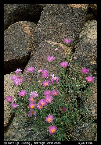 Purple flowers and rocks. Joshua Tree National Park (color)