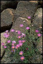 Purple flowers and rocks. Joshua Tree National Park, California, USA.