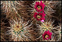 Engelmann Hedgehog cactus in bloom. Joshua Tree National Park, California, USA. (color)