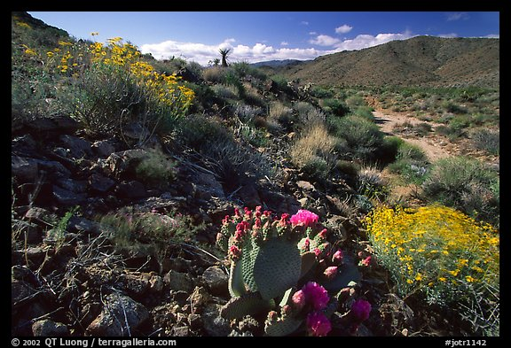 Beavertail cactus and brittlebush. Joshua Tree National Park (color)