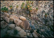 Boulders and palm trees, Lost Palm Oasis. Joshua Tree National Park, California, USA.