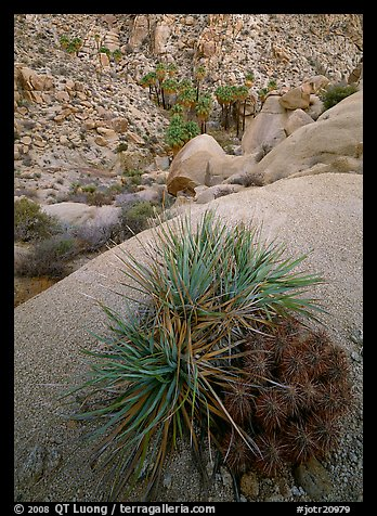 Sotol and cactus above Lost Palm Oasis. Joshua Tree  National Park (color)
