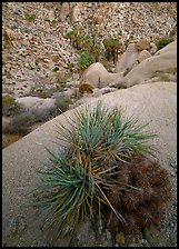 Sotol and cactus above Lost Palm Oasis. Joshua Tree National Park, California, USA.