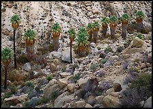 Native California Fan Palm trees in Lost Palm oasis. Joshua Tree National Park, California, USA.