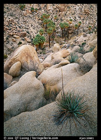 Sotol on boulder above Lost Palm Oasis. Joshua Tree National Park, California, USA.