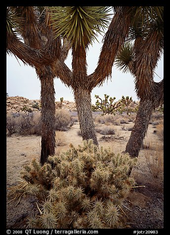 Cholla cactus at the base of Joshua Trees. Joshua Tree  National Park (color)