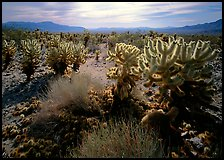 Forest of Cholla cactus. Joshua Tree National Park, California, USA.