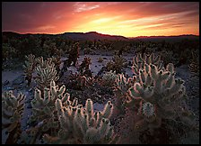 Cholla cactus garden, sunrise. Joshua Tree National Park, California, USA.