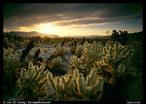 Cholla cactus garden, sunrise. Joshua Tree National Park (color)
