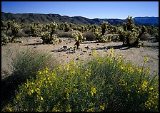 Desert Senna and Chola cactus. Joshua Tree National Park, California, USA.