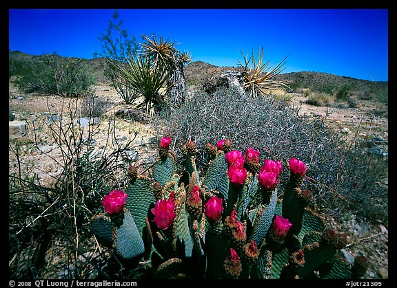 Beavertail Cactus in bloom. Joshua Tree  National Park (color)