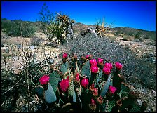 Beavertail Cactus in bloom. Joshua Tree National Park, California, USA. (color)