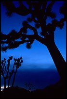 Joshua Trees silhouettes at dusk. Joshua Tree National Park, California, USA. (color)