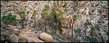 Desert oasis with palm trees in arid landscape. Joshua Tree  National Park (Panoramic color)