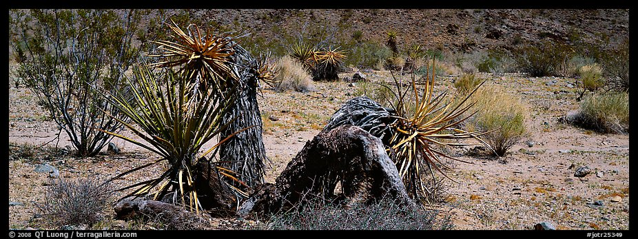 Desert plants. Joshua Tree National Park (color)