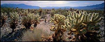 Desert flat with cholla cactus. Joshua Tree  National Park (Panoramic color)