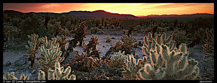 Thorny cactus at sunrise. Joshua Tree National Park (color)