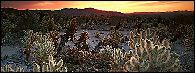 Thorny cactus at sunrise. Joshua Tree  National Park (Panoramic color)