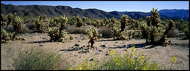 Desert landscape with yellow blooms on bush and cactus. Joshua Tree National Park (Panoramic color)