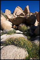 Wildflowers and rockpiles. Joshua Tree National Park, California, USA.