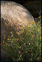 Wildflowers and boulder. Joshua Tree National Park, California, USA.