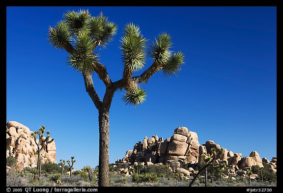 Joshua tree (Yucca brevifolia) and rockpiles. Joshua Tree National Park (color)