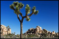 Joshua tree (Yucca brevifolia) and rockpiles. Joshua Tree National Park, California, USA.