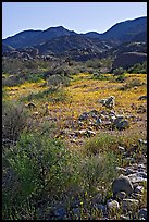 Coreopsis and cactus, and Queen Mountains near the North Entrance, afternoon. Joshua Tree National Park, California, USA.