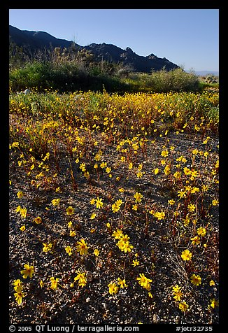 Coreopsis carpet near the North Entrance, afternoon. Joshua Tree National Park, California, USA.