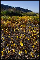 Coreopsis carpet near the North Entrance, afternoon. Joshua Tree National Park, California, USA. (color)