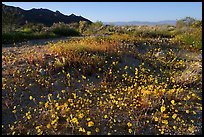 Carpet of yellow coreposis, late afternoon. Joshua Tree National Park, California, USA. (color)