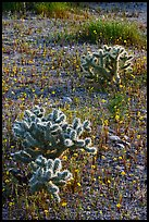 Cactus and Coreposis yellow flowers. Joshua Tree National Park, California, USA. (color)