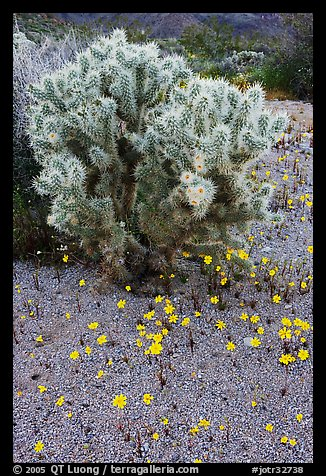 Cactus and Coreposis. Joshua Tree National Park (color)