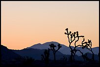 Joshua trees and mountains, sunset. Joshua Tree National Park, California, USA. (color)