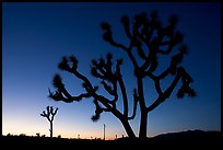 Joshua trees (Yucca brevifolia), sunset. Joshua Tree National Park, California, USA. (color)