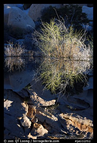 Willows and reflections, Barker Dam, early morning. Joshua Tree National Park (color)