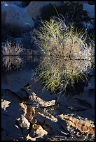 Willows and reflections, Barker Dam, early morning. Joshua Tree National Park, California, USA.
