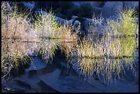 Willows, rocks, and reflections, Barker Dam, early morning. Joshua Tree National Park, California, USA.