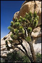 Joshua Tree in bloom and boulders, Hidden Valley Campground. Joshua Tree National Park, California, USA.