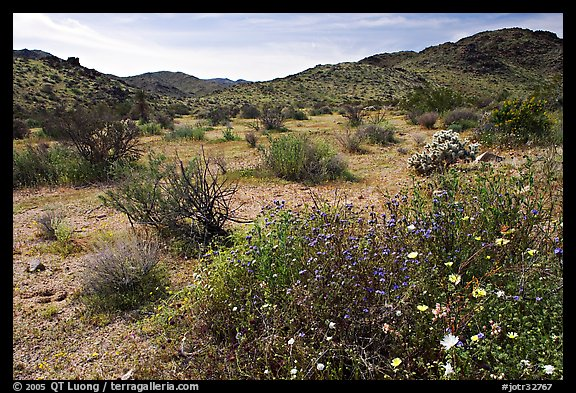 Wildflowers, volcanic hills, and Hexie Mountains. Joshua Tree National Park (color)