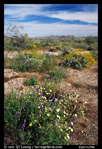 Arizona Lupine, Desert Dandelion, Chia, and Brittlebush, near the Southern Entrance. Joshua Tree National Park (color)