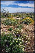 Arizona Lupine, Desert Dandelion, Chia, and Brittlebush, near the Southern Entrance. Joshua Tree National Park, California, USA.
