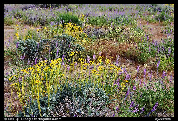 Close-up of flower carpet of Arizona Lupine, Desert Dandelion, Chia, and Brittlebush, near the Southern Entrance. Joshua Tree National Park (color)