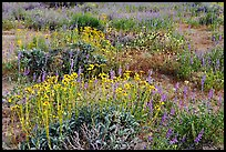Close-up of flower carpet of Arizona Lupine, Desert Dandelion, Chia, and Brittlebush, near the Southern Entrance. Joshua Tree National Park, California, USA.
